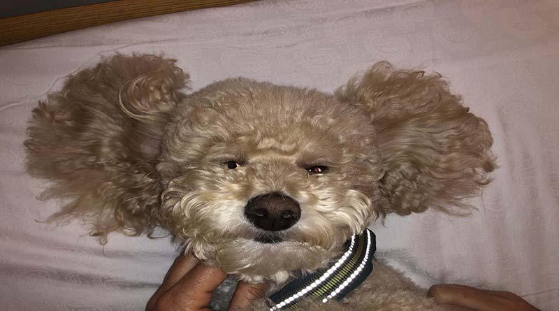 orecchie-del-cane