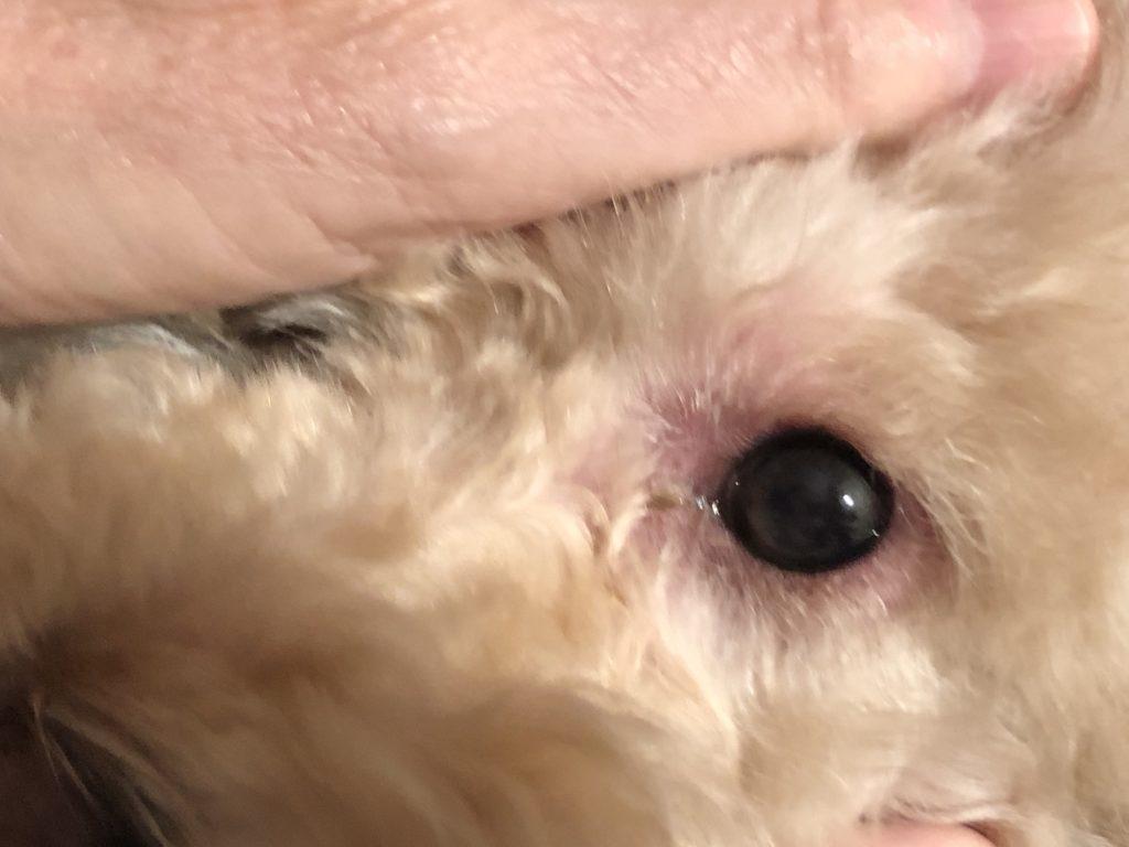 congiuntivite del cane