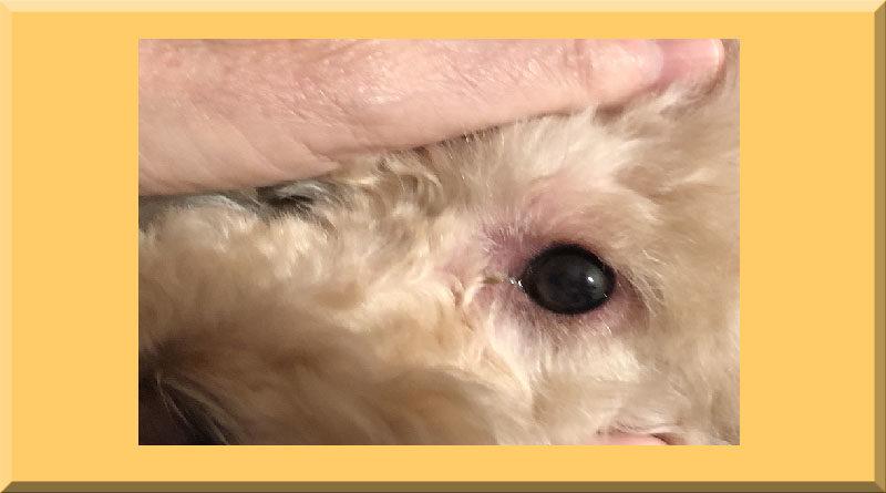congiuntivite del cane cure