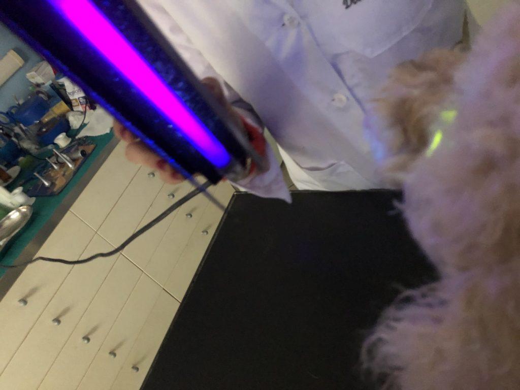 congiuntivite del cane luce blu cobalto