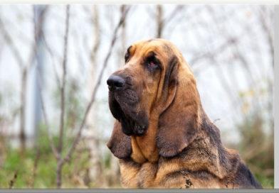 cane molecolare Bloodhound chien de Saint-Hubert segugio walt disney