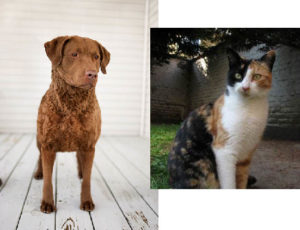 colico cat Chesapeake Bay Retriever
