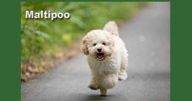 maltipoo barboncino maltese razza anallergica cane ibrido