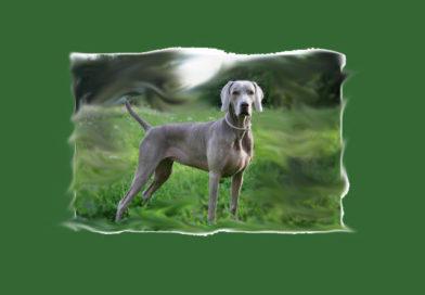 weimaraner razza cane caccia